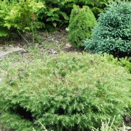 Cryptomeria japonica MUSHROOM