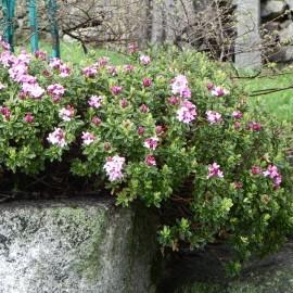 Daphne cneorum