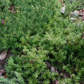 Podocarpus nivalis  ALPINE