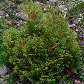 Thuja occidentalis MIKY