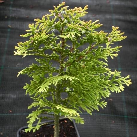 Chamaecyparis lawsoniana ALUMIGOLD