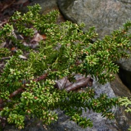 Taxus baccata AMERSFOORT