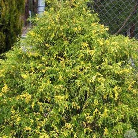 Chamaecyparis pisifera FILIFERA VARIEGATA