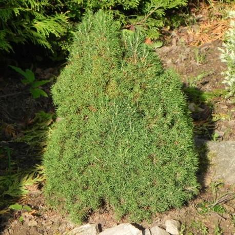 Picea glauca CONICA LAURIN