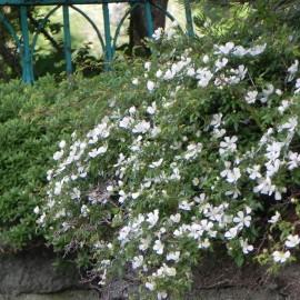 Růže pokryvná, bílá