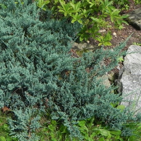 Juniperus horizontalis SAXATILIS