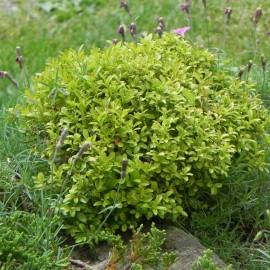 Buxus sempervirens NANA