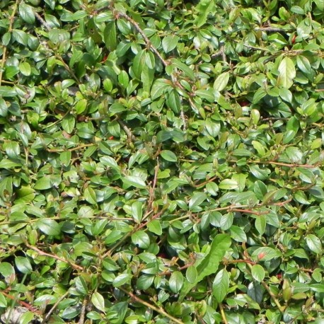 Cotoneaster salicifolium PARKTEPPICH