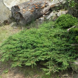 Juniperus horizontalis GREEN CARPET