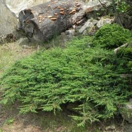 Juniperus horizontalis GREEN CARPET