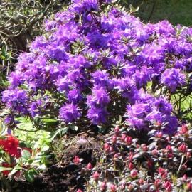 Rhododendron impeditum AZURIKA