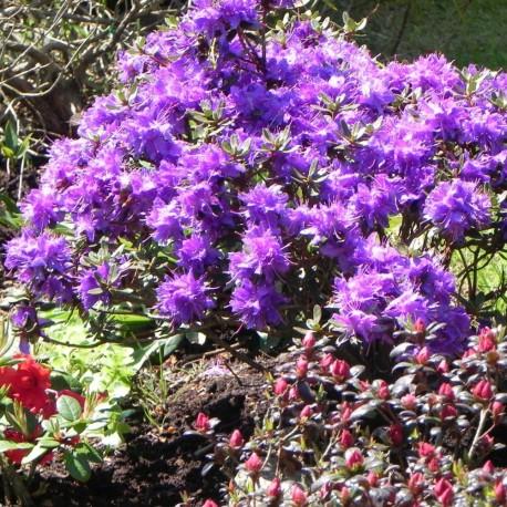 Rhododendron impeditum AZURICO