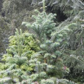 Cunninghamia lanceolata GLAUCA