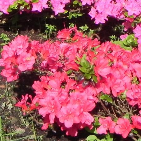 Rhododendron MARUSCHKA