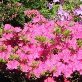 Rhododendron  jap.GEISHA