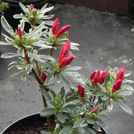 Rhododendron HOT SHOT VARIEGATED