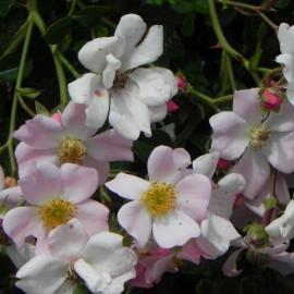 Růže pokryvná-růžová