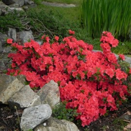 Rhododendron  MOEDERKENSDAG