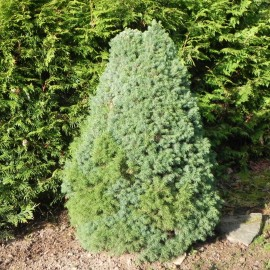 Picea glauca BLUE SANDERS