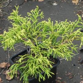 Chamaecyparis obtusa TSATSUMI GOLD