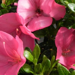 Rhododendron ANOUK