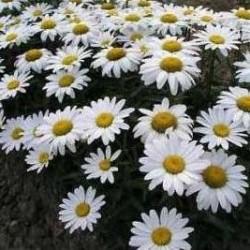 Chrysantheum leucantheum