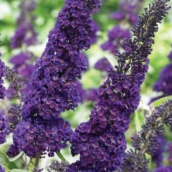 Buddleja davidii  BLACK KING