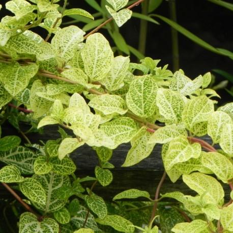 Lonicera japonica AUREORETICULATA