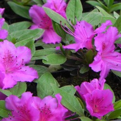Rhododendron jap.