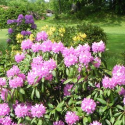 Rhododendron hybridum