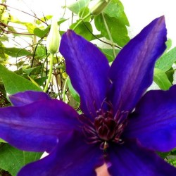 Clematis SIR GARNET WOLSELEY