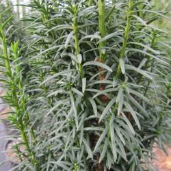 Taxus baccata LITFASS