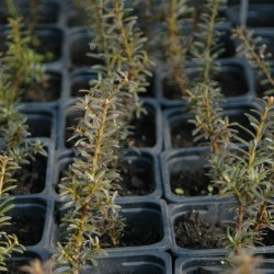 Podocarpus alpinus CHOCOLATE BOX