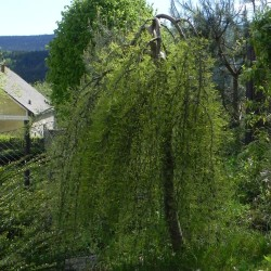 Caragana arborescens WALKER