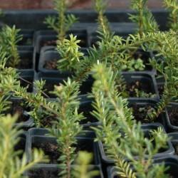 Podocarpus nivalis ALPINE 10KS